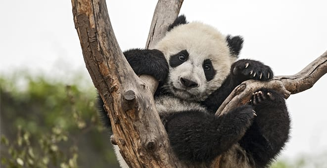 Recovering from Panda